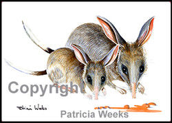 BlackEdge-8x72Bilby2.jpg